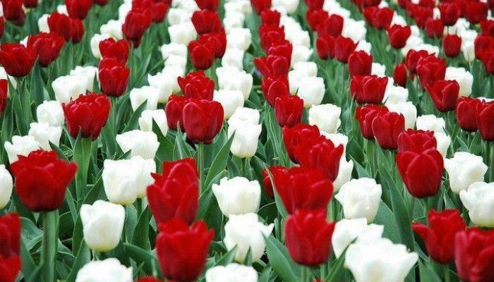 Hungarian national colors of tulips - March 15