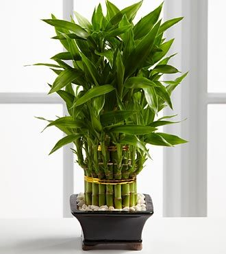 Triple Lucky Bamboo - I have Lucky Bamboo in very bathroom and in the kitchen.  I love to see it.