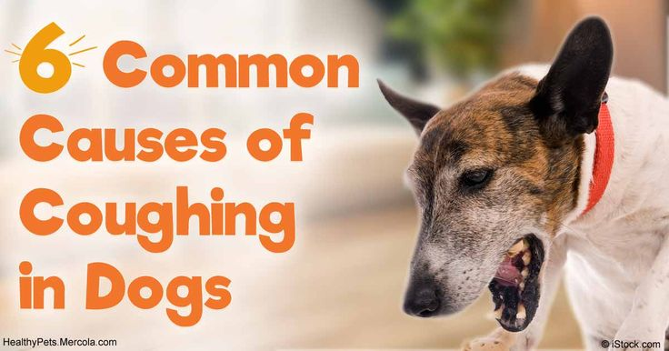 In dogs, coughing can be a sign of several different problems. Discover some of the more common causes of canine coughs and what you should know about them. http://healthypets.mercola.com/sites/healthypets/archive/2016/11/16/common-causes-dog-coughing.aspx