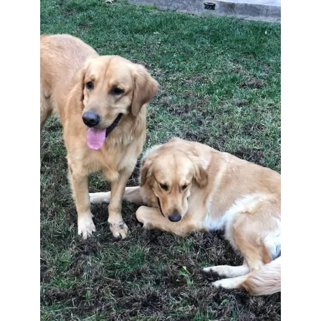 A Litter Of Gorgeous Pure Bred Golden Retriever Puppies
