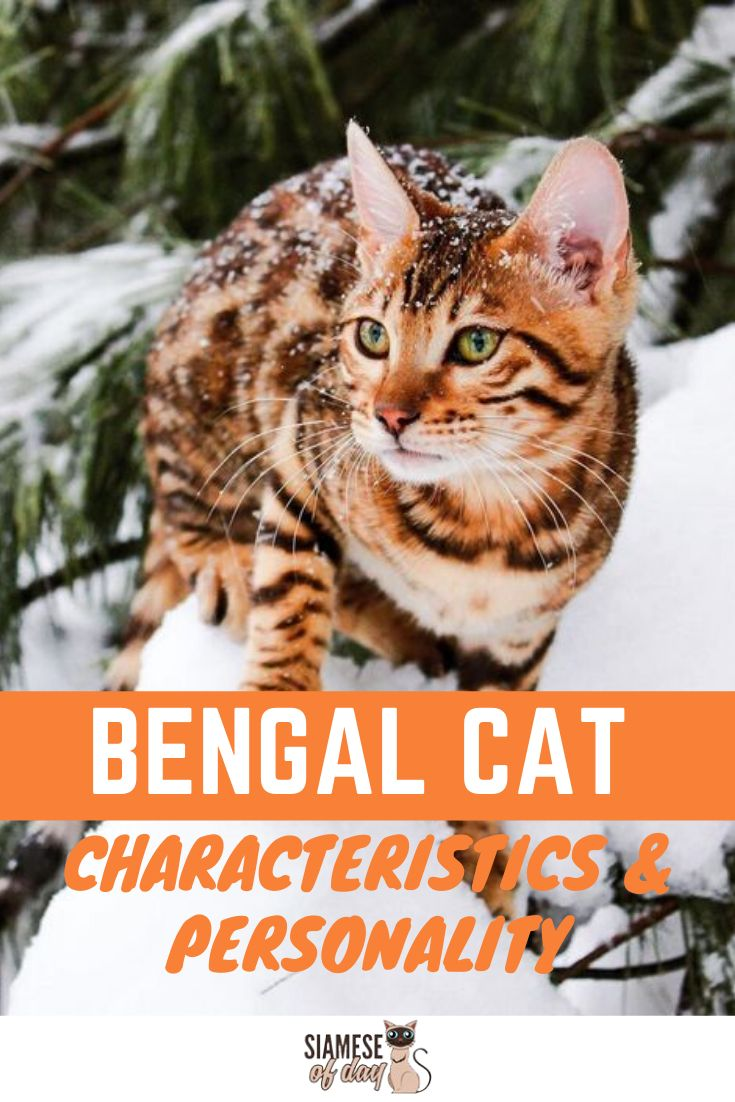 Bengal Cat: Characteristics, Personality, care & Health
