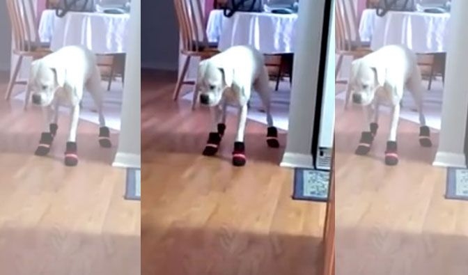 This funny Boxer tries to wear her brand new snow boots for the first time! Confused about what could be that thing in his cutie little paws are, still he tried his very best to walk in it!Check out the video and see as this funny boxer attempt to walk in her brand new snow …