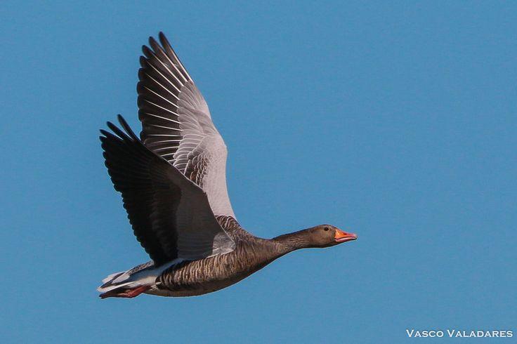 Ganso-bravo, Greylag goose (Anser anser) #gansobravo #anseranser #greylaggoose #Canon #DSLR #EOS