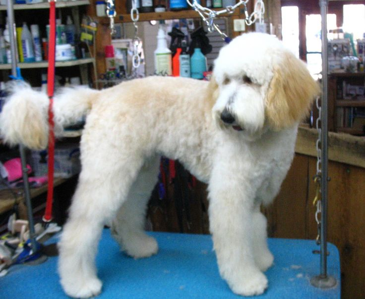 """Goldendoodle Grooming Ideas 
