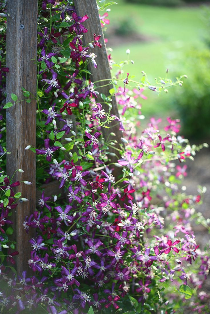 Sweet Summer Love Clematis X Romantic Sweet And A