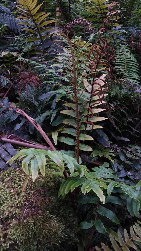 Blechnum wattsii or the hard water fern is a common fern growing in rainforest and pen forest. Often seen near creeks in much of south eastern Australia