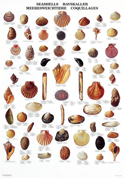 seashells images - Google Search
