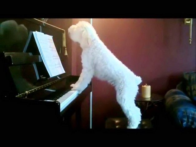 Απολαύστε:Σκύλος πιανίστας σε σόλο ρεσιτάλ.!!