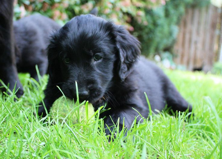 Flat coated retriever puppy favorite things Pinterest
