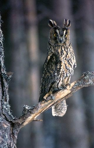cc Long-eared Owl Scotland (Asio otus)