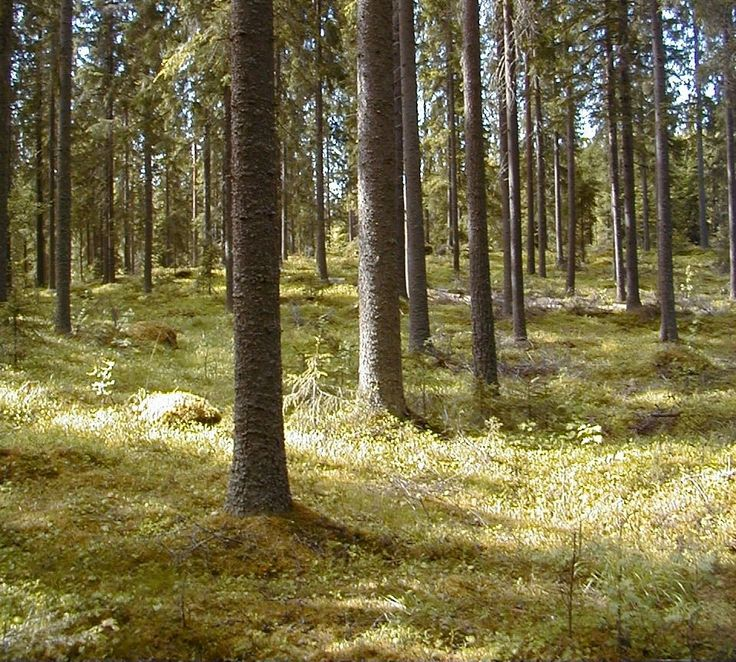 Finnish spruce forest | World of Wood
