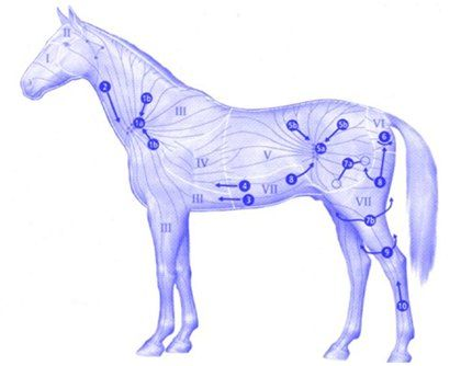 Diagram of lymphatic system equine search for wiring diagrams 13 best lymfe systeem paard images on pinterest horse horses and rh pinterest com horse muscle system horse muscle system ccuart Choice Image