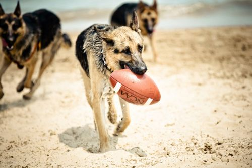 German Shepherds playing football at the beach.Football Seasons, Best Friends, Dogs Breeds, At The Beach, Football Team, Beach Time, Happy Dogs, German Shepherd, German Shepard