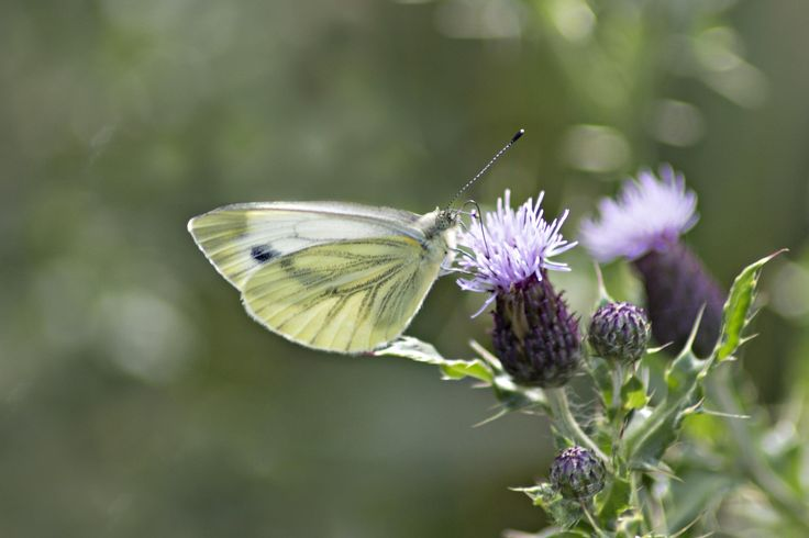 Small white on thistel by Anja Wessels on 500px