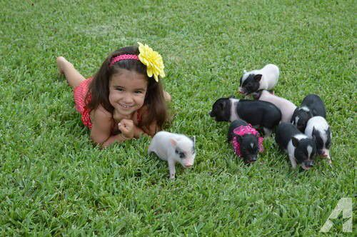Adorable Micro Blue Eyed Mini Pot Belly Piglets!-tcup pigs,piggies for ...