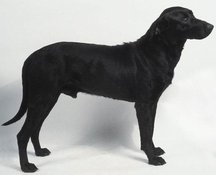Majorca Shepherd Dog Puppies