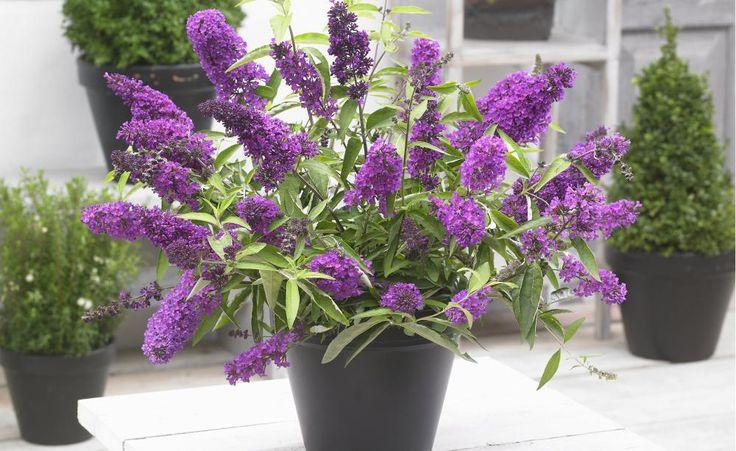 Der Sommerflieder (Buddleja) ist als Gartenpflanze äußerst beliebt und lockt Jahr für Jahr zahlreiche Schmetterlinge an. Was die wenigsten wissen: Man kann ihn auch hervorragend als Kübelpflanze halten.