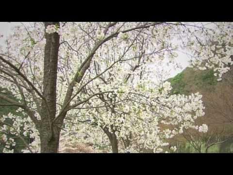 春の嵯峨野トロッコ列車(京都・嵯峨野観光鉄道トロッコ列車)