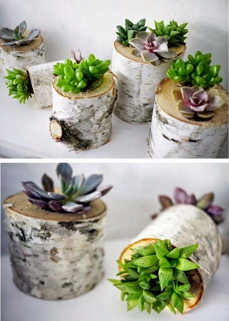 gorgeous succulents in birch logs!