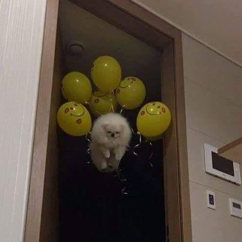 Drunk friends + Helium + balloons = flying doggo