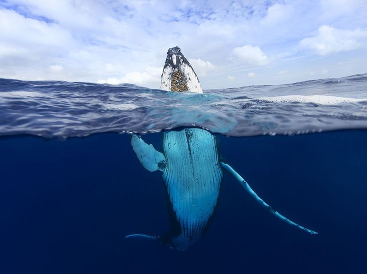 Humpback Whale, Tonga. Photograph by Craig Parry - A humpback whale breaches in the waters around Tonga, a nation of 170 tiny islands in Polynesia. Humpback whales migrate north each year from cold Antarctic waters and spend five months among the islands here