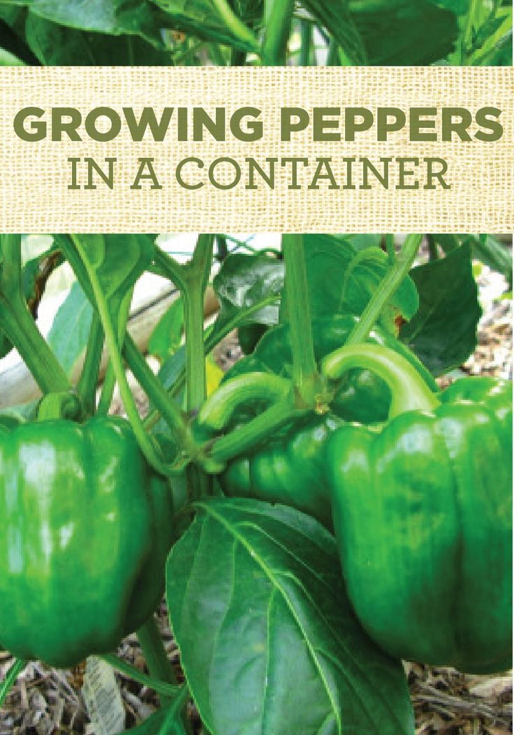 Click here and learn how to grow Bell Peppers in a Container Garden!