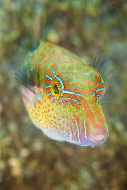 17 best images about box fish on pinterest cozumel for All fish names