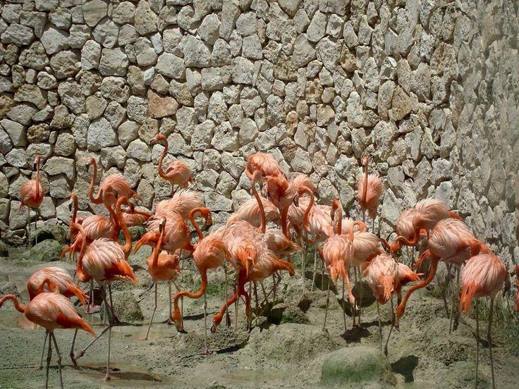 Flamingos. Xcaret Park. Cancun, Mexico