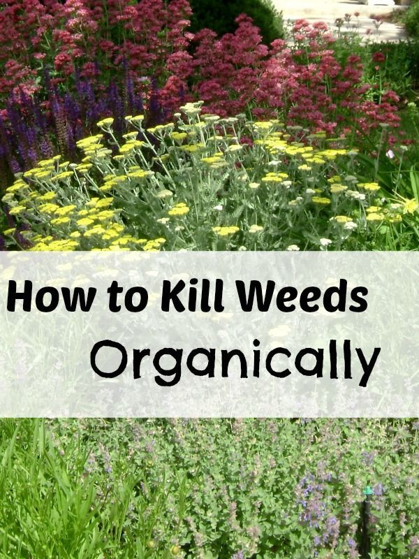 How to kill weeds organically. Get rid of weeds in sidewalks, mulch and grass naturally.