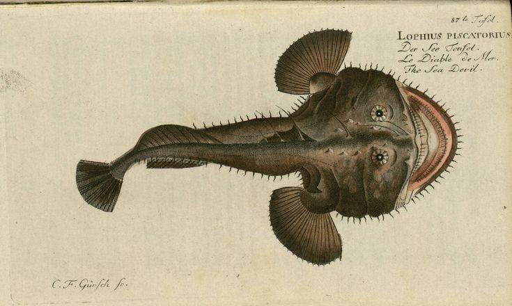 Lophius piscatorius from Oekonomische Naturgeschichte der Fische Deutschlands