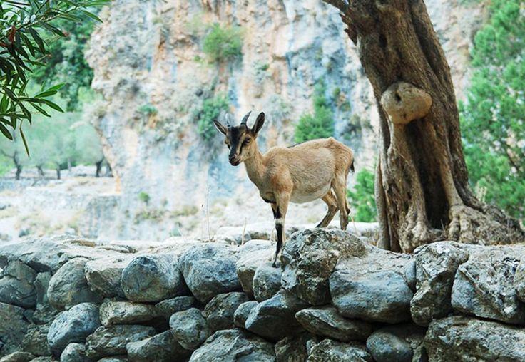 An article about the Kri-Kri Goat and other unique Cretan animals...Read more at: http://goo.gl/ejh5Ou #KriKri #GalaxyVillasResort #lifeincrete #crete #cretan #heraklion #animals