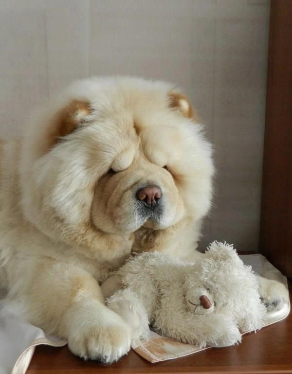 chow chow!OMG.. I just can't