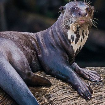 Manú National Park in Peru is one of the most biodiverse national parks in the world, with 20,000 plant species, about 1,000 species of birds, and more than 1,000 species of butterflies. One of the most unusual creatures that makes Manú home is the endangered giant river otter. | The Human Impact | Kids Discover