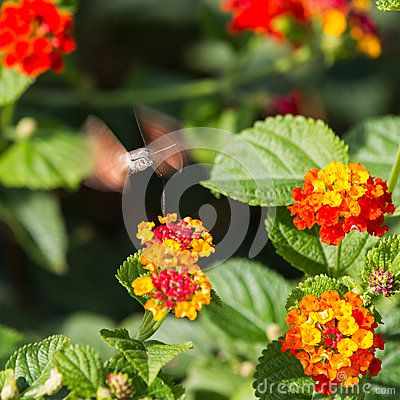 Download Sfingidae Royalty Free Stock Image for free or as low as 6.85 руб.. New users enjoy 60% OFF. 20,488,200 high-resolution stock photos and vector illustrations. Image: 36123186