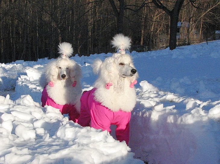 Standard poodles love the snow.