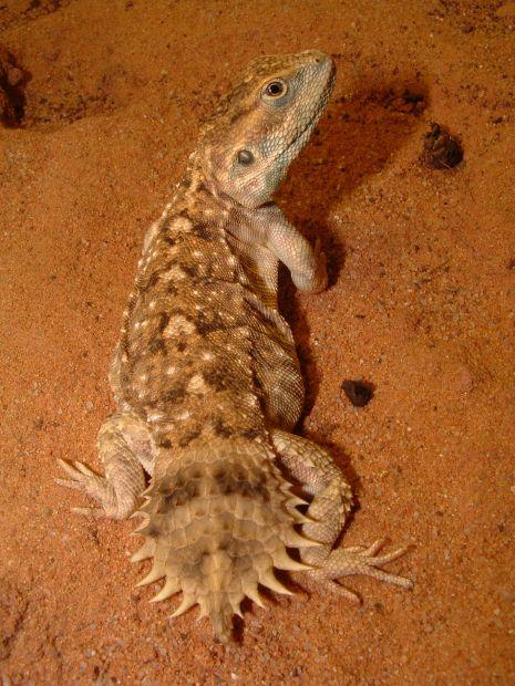 Pesquisador amador Tomas Mazuch descobriu uma espécie de lagarto (Xenagama wilmsi) na Somália, com uma cauda plana rodada.