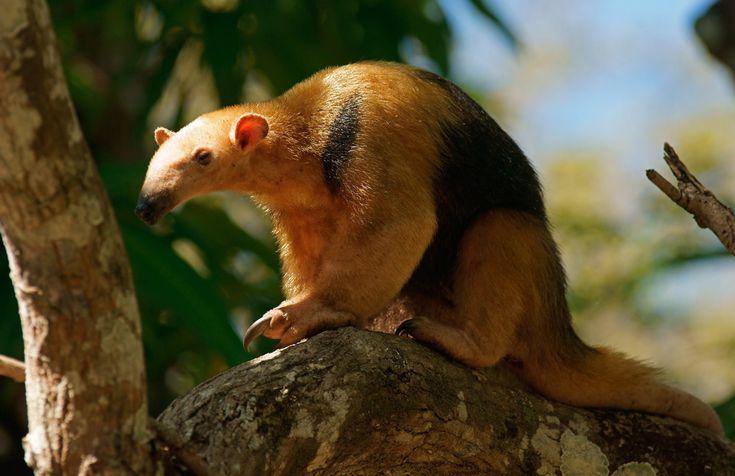 Kleiner Ameisenbär oder Tamandua