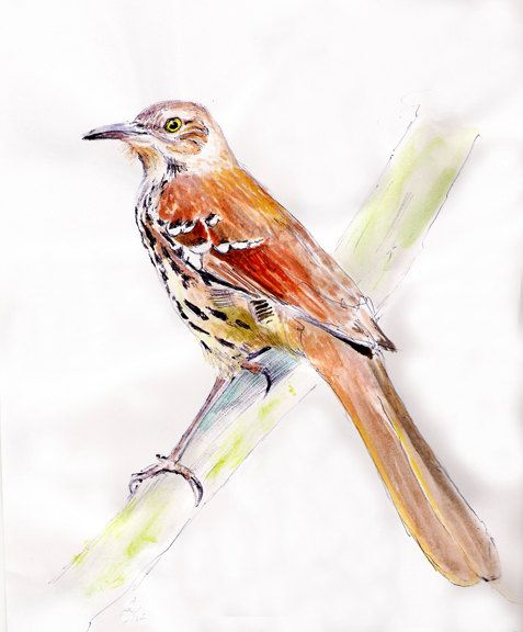 Brown Thrasher by Pintor