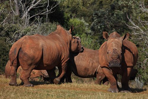 Rhino at Botlierskop