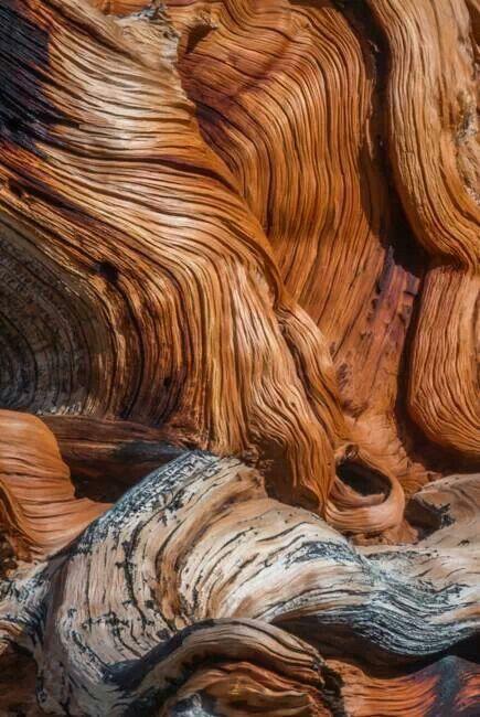 :) bristlecone pine forest...bishop, ca