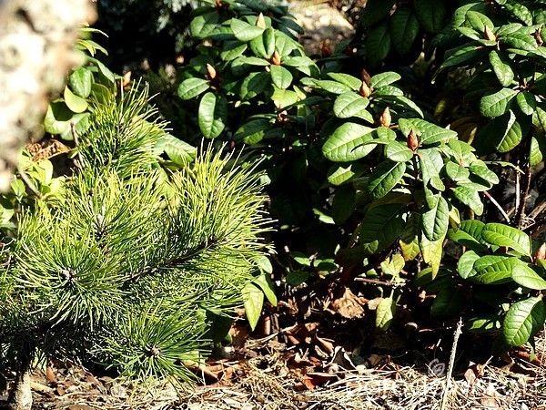 Pinus mugo 'Rositech',