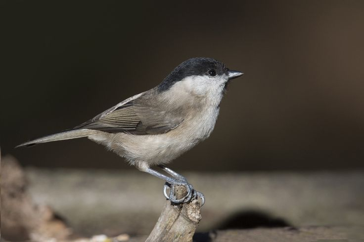 https://flic.kr/p/BZPjHw | Cincia bigia - Marsh tit | Uncropped - Please see the larger version