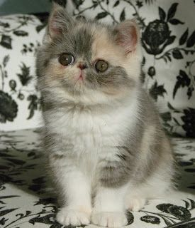 Most Famous Exotic Shorthair Names Click the picture to see
