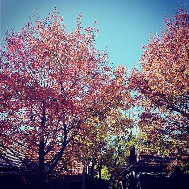 Autumn Foliage, Baptist Street, Surry Hills @lucegraf-#statigram