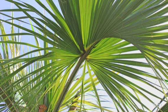 11X14 Tropical Photographs Palm Fronds 15 Off by ElayneInspired,