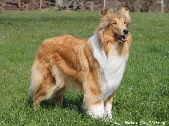 Mia Vom Neckarwiesenweg Collie Dog Rough Collie Cute Dogs