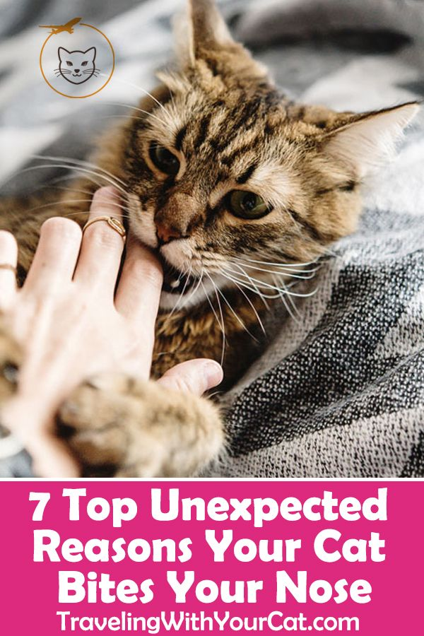 7 Top Unexpected Reasons Your Cat Bites Your Nose Cat Biting Cat Behavior Cat Behavior Facts