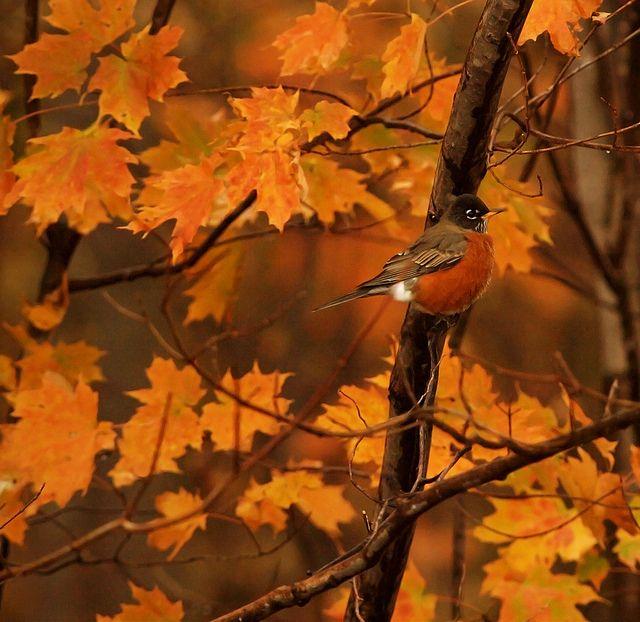 Robin in an autumn tree