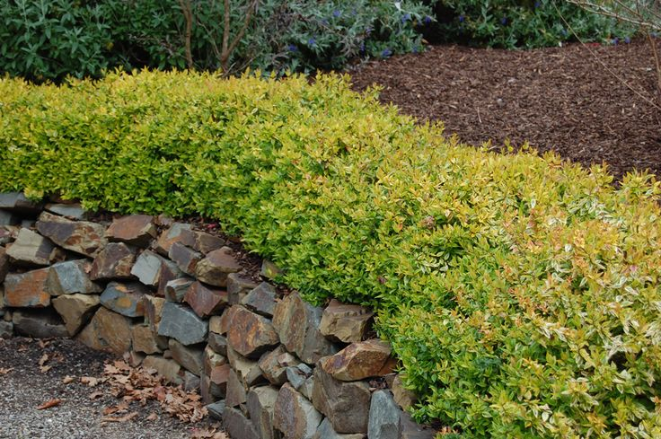 Abelia 'Kaleidoscope' • Bright colour and interest all year round • Low water and low maintenance gardens • Informal hedging • Mass planting
