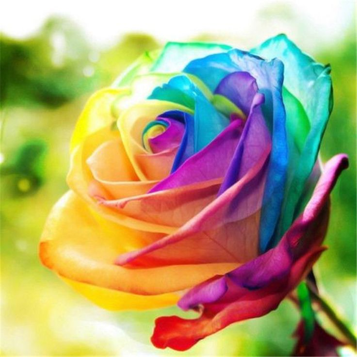 200Pcs Rainbow Rose Seeds Rare Flower Perennial Potted Rose Plant Seeds DIY Garden Seeds - Newchic